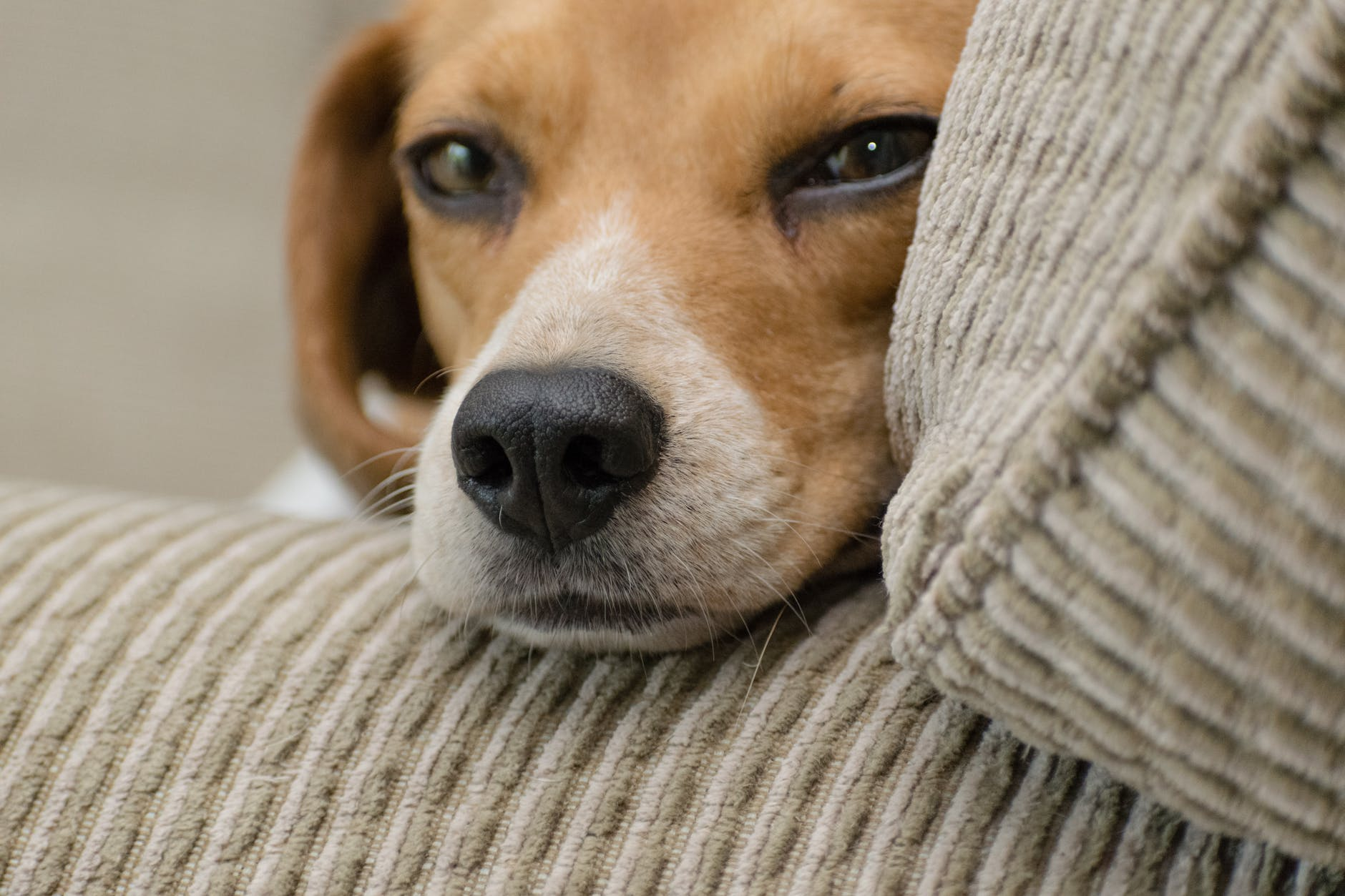 close up photo of beagle resting head on armrest